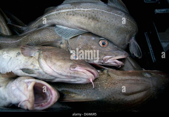 Gadiformes stock photos gadiformes stock images alamy for Atlantic cod fish