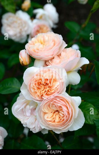 ... peach apricot shrub shrubs color colours flowering flowers RM Floral