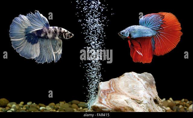 Betta fish aquarium stock photos betta fish aquarium for Multiple betta fish tank
