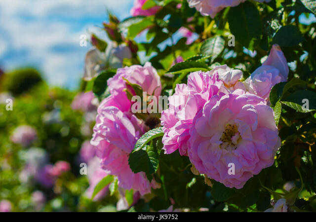 Huge flower stock photos huge flower stock images alamy the pink rose flower in this huge flower garden that is right next to the mightylinksfo