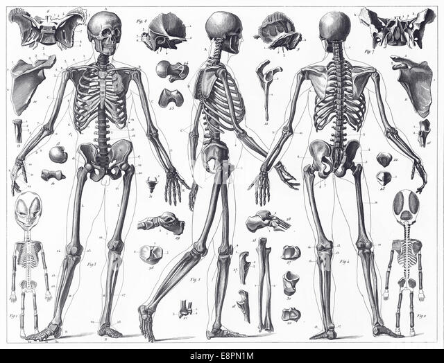 engraving human skeleton stock photos & engraving human skeleton, Skeleton
