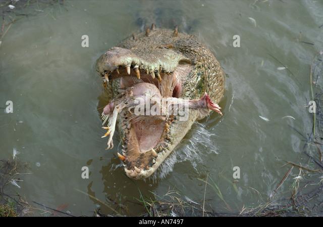 Saltwater Crocodile Eating Stock Photos & Saltwater Crocodile ...
