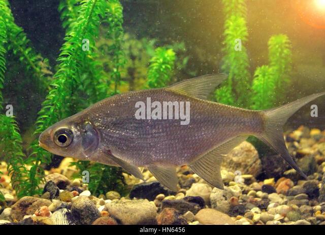 Fish eating skin stock photos fish eating skin stock for Skin eating fish