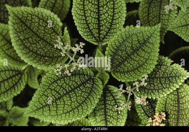 Pilea spruceana stock photos pilea spruceana stock for Plante pilea