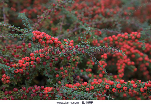 cotoneaster suecicus stock photos cotoneaster suecicus stock images alamy. Black Bedroom Furniture Sets. Home Design Ideas