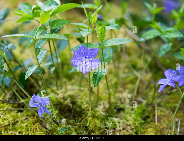 how to grow native violet