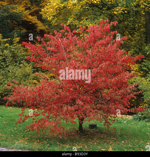 Shrub Burning Bush