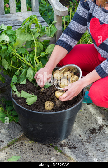 Woman Gathering Pot Grown Early Potatoes, U0027Swiftu0027, On Garden Patio,