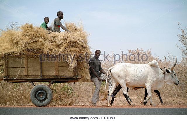 Cow Pulling Wagon : Bullocks pulling cart stock photos