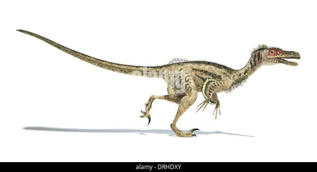 Velociraptor Dinosaur Stock Photos Amp Velociraptor Dinosaur