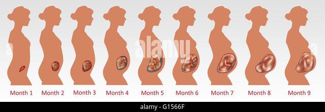 Fetal Development Stock Photos & Fetal Development Stock Images ...