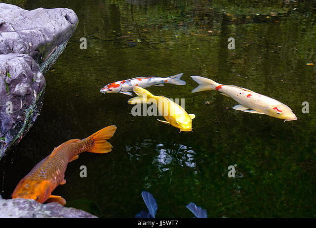 Ornamental fish ponds stock photos ornamental fish ponds for Decorative pond fish