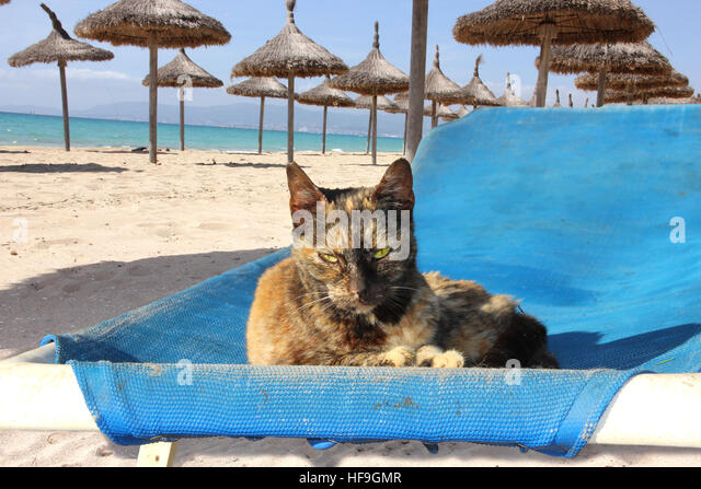 Blue tortie stock photos blue tortie stock images alamy for Cat chaise longue