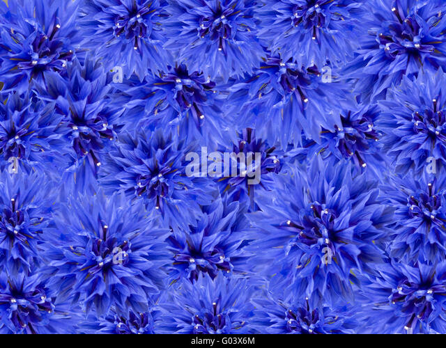 blue corn flowers stock photos amp blue corn flowers stock