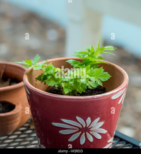 how to grow celery in pots