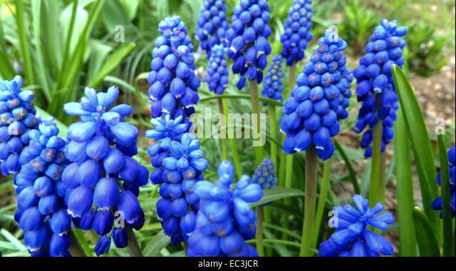 Purple Floral Design Elements - Muskari Flowers And Olive Leaves ...
