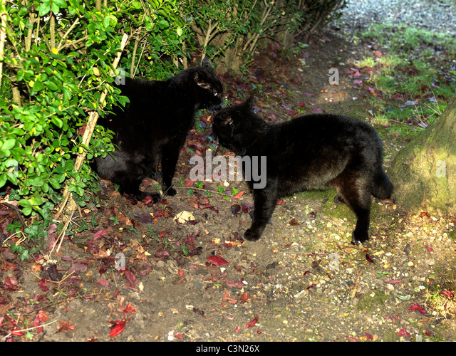Black cat fight