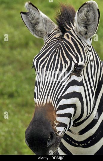 Zebra Face Stock Photos & Zebra Face Stock Images - Alamy