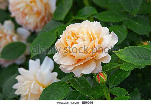 Rosa U0027Graceu0027 English Rose   David Austin Rose Garden, Wolverhampton, UK