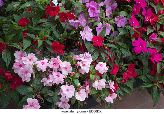 Impatiens hawkeri images galleries New guinea impatiens