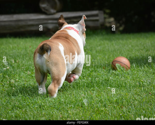 [Image: english-bulldog-chasing-ball-outide-in-t...fefgwx.jpg]