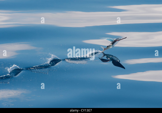Flyingfish stock photos flyingfish stock images alamy for Flying fish name