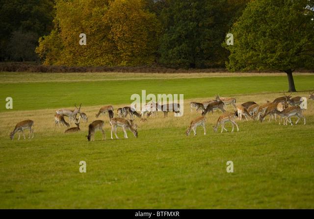 Deer herd in Richmond park London England Great Britain United Kingdom ...