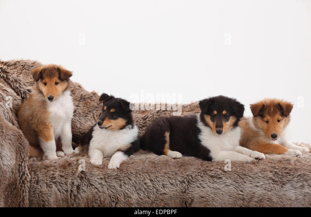 Four Dogs Pets Puppies...