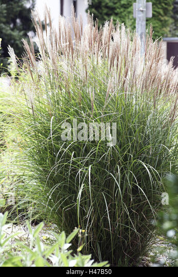 Grasses Ornamental Stock Photos Grasses Ornamental Stock