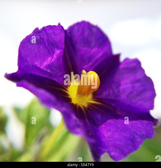 Purple flower with yellow stamen image collections flower purple flower yellow stamen image collections flower decoration ideas purple flower yellow stamen image collections flower mightylinksfo