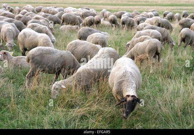 Sheep Scared Stock Photos & Sheep Scared Stock Images - Alamy