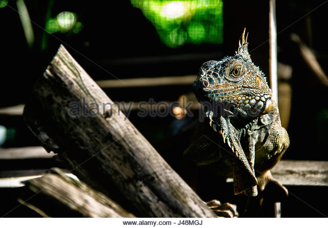 Green iguana of the Green Iguana Conservation Project in San Ignacio, Belize - Stock Image