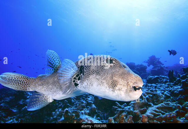 Puffer fish blue sea stock photos puffer fish blue sea for Giant puffer fish