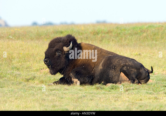 Bison Oklahoma Extinction American Bi...