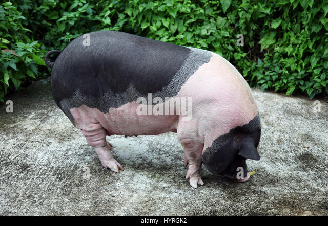 Asian pot bellied pig