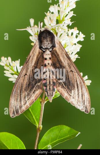 Privet hawk moth - photo#43