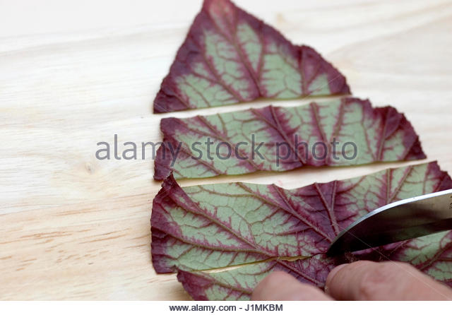 how to grow a begonia from a cutting