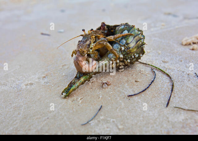 How do you get a marine hermit crab out of it's shell safely?