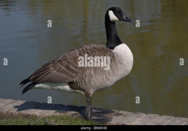 Branta canadensis canada goose for 7 temple terrace wilmington de