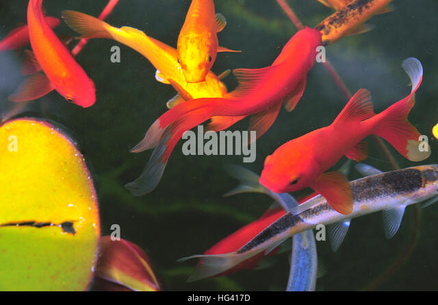 Colourful fish stock photos colourful fish stock images for Colourful koi fish
