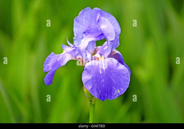 blue iris flower is growing in garden stock image