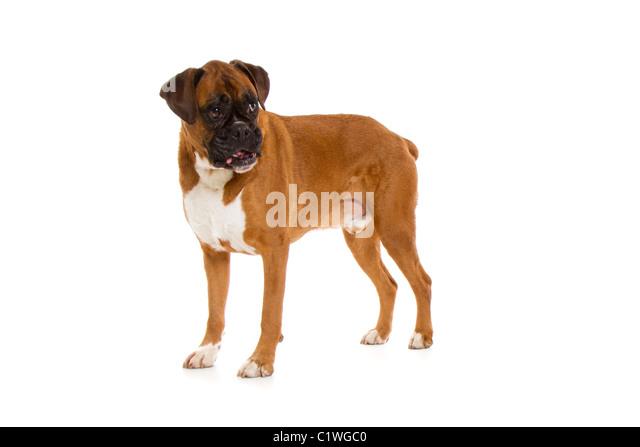 Angry boxer dog teeth - photo#21
