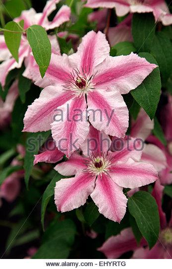 clematis climbing wall flower stock photos clematis. Black Bedroom Furniture Sets. Home Design Ideas