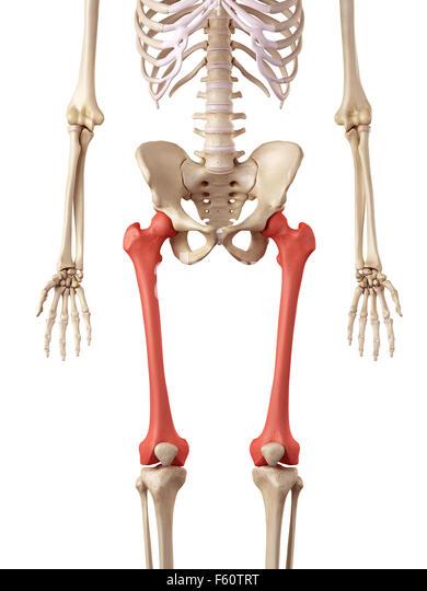 femur bone human stock photos & femur bone human stock images - alamy, Human Body