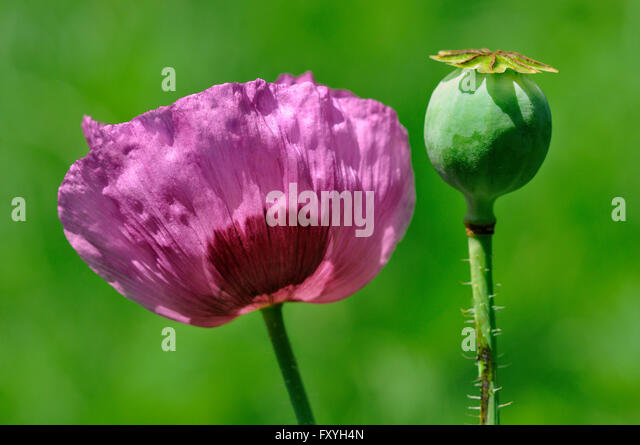 papaver somniferum opium - photo #41