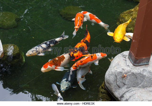 Koi carp orange goldfish stock photos koi carp orange for Koi for sale san diego