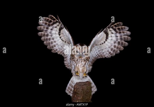 Tawny Owl Uk Flight Stock Photos Amp Tawny Owl Uk Flight
