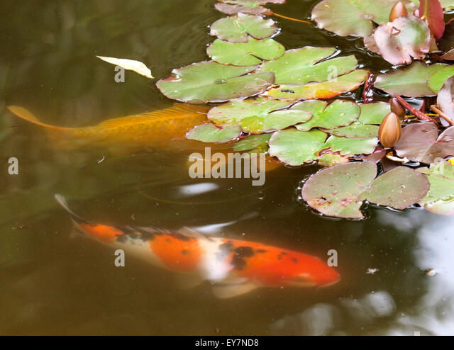 Koi and lily pads stock photos koi and lily pads stock for Carp fish pond