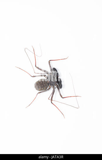 whip spider stock photos  u0026 whip spider stock images