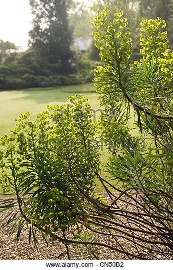 euphorbia characias ssp wulfenii spurge at garden designer john brookes denmans garden